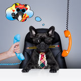 Office worker boss dog. Office businessman french bulldog dog as boss and chef , busy and burnout , sitting on leather chair and desk, in need for vacation Stock Image