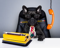 Office worker boss dog. Office businessman french bulldog dog  as  boss and chef , with typewriter as a secretary,  sitting on leather chair and desk, in need Royalty Free Stock Photos