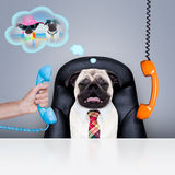 Office worker boss dog. Office businessman pug dog  as  boss and chef , busy and burnout , sitting on leather chair and desk, in need for vacation Stock Images