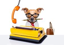 Office worker boss dog. Office worker businessman jack russell as boss and chef , with suitcase or bag as a secretary, with tie , isolated on white background Royalty Free Stock Photography