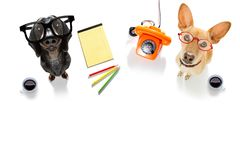 Office worker businessman couple of team dogs stock photography
