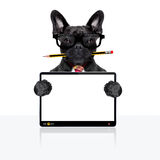 Office worker dog. Office businessman french bulldog dog with pen or pencil in mouth , behind laptop pc tablet screen , isolated on white background royalty free stock images