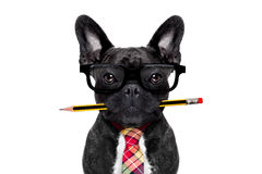 Office worker dog Royalty Free Stock Photography