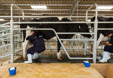 official show  milking from milk cow Stock Images