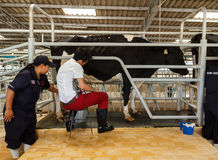 Official show  milking from milk cow Stock Photos