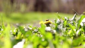 Officinale amarillo del taraxacum de los dientes de león en hierba verde Cierre para arriba Insectos de vuelo almacen de video