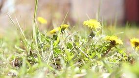 Officinale amarillo del taraxacum de los dientes de león en hierba verde Cierre para arriba Insectos de vuelo metrajes