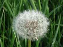 Officinale de Taraxacum Photographie stock libre de droits