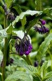 Officinale dello Symphytum, boraginaceae Fotografie Stock