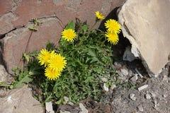Officinale floreciente del taraxacum de los dientes de león que germina a través del asfalto Imagen de archivo libre de regalías