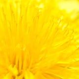 Officinale jaune de Taraxacum - fond Photos libres de droits