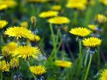 Officinale Taraxacum в цветке Стоковое Изображение RF