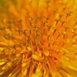 Officinale Taraxacum макроса одуванчика Стоковая Фотография