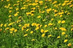 Officinale Taraxacum одуванчика, цветки в луге как предпосылка, весна Стоковая Фотография RF