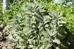 Officinalis贤哲植物在草本庭院里 免版税图库摄影