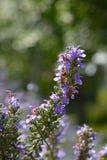 Officinalis άνθησης Rosemary Rosmarinus Στοκ φωτογραφία με δικαίωμα ελεύθερης χρήσης