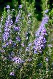Officinalis άνθησης Rosemary Rosmarinus Στοκ εικόνες με δικαίωμα ελεύθερης χρήσης