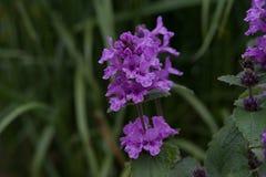 Officinalis Betonica Στοκ εικόνα με δικαίωμα ελεύθερης χρήσης