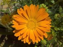 Officinalis Calendula ноготк Стоковое фото RF