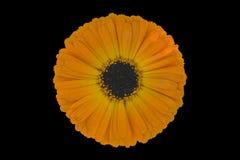 officinalis calendula Стоковые Изображения RF