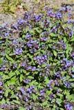 Officinalis comuns de Pulmonaria do lungwort cor-de-rosa e flores azuis Fotografia de Stock