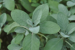 Officinalis de Berggarten Sage Salvia Photographie stock libre de droits