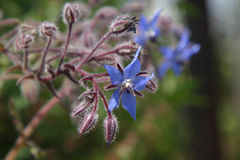 Officinalis de Borago Photo stock