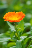 Officinalis de Calendula dans le jardin Photo stock