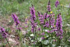 Officinalis de florescência de Betonica, plantas medicinais, ervas no jardim Foto de Stock