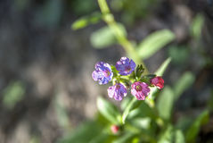 Officinalis de Pulmonaria na floresta Foto de Stock Royalty Free