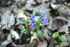 Officinalis de Pulmonaria na floresta Imagem de Stock