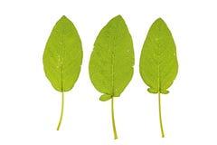 Officinalis de Salvia Imágenes de archivo libres de regalías