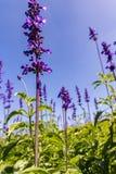 Officinalis de Salvia Imagen de archivo libre de regalías