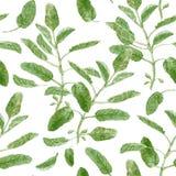 Officinalis de Salvia ou sábio do jardim Teste padrão de superfície sem emenda do ramo prudente isolado no fundo branco botanical ilustração stock