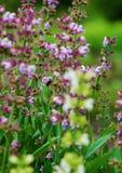 Officinalis de Salvia y abeja de la miel Fotos de archivo libres de regalías