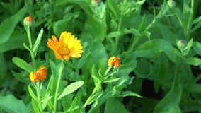 Officinalis del Calendula de la maravilla Movimiento de las floraciones de la flor de la hierba en viento 4K almacen de metraje de vídeo