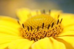 Officinalis del Calendula - maravilla de crisol. Foto de archivo libre de regalías