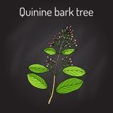 Officinalis del quino del árbol de corteza de la quinina, planta medicinal stock de ilustración