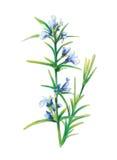 Officinalis del Sabio-Salvia Fotos de archivo
