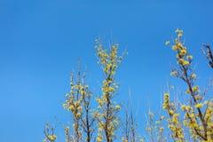 Officinalis della cornina fioritura in primavera della Corea Fotografie Stock