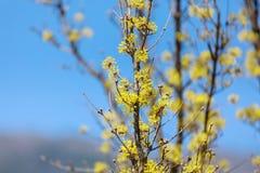 Officinalis della cornina fioritura in primavera della Corea Immagini Stock