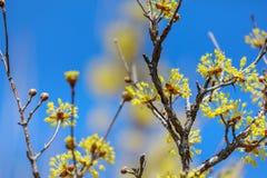 Officinalis della cornina fioritura in primavera della Corea Immagine Stock