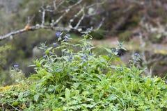 Officinalis di anchusa della pianta selvatica in una montagna Fotografia Stock