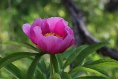 Officinalis di Paeonia, peonia selvatica della foresta fotografia stock
