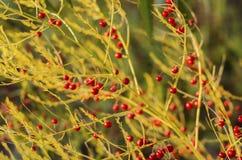 Officinalis do aspargo no campo 2 do outono imagens de stock royalty free