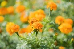 Officinalis do Calendula (marigold de potenciômetro) Imagens de Stock Royalty Free