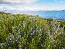 Officinalis do Rosmarinus da planta dos alecrins que florescem com perfumado Imagem de Stock Royalty Free