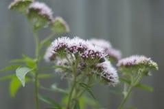 Officinalis florecientes del Valeriana de la valeriana Fotografía de archivo