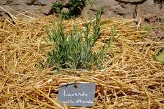 Officinalis Lavendula между соломой Стоковые Изображения RF