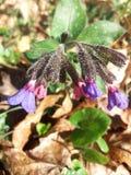 Officinalis Lungwort Pulmonaria Стоковые Изображения RF
